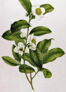 planta del te verde